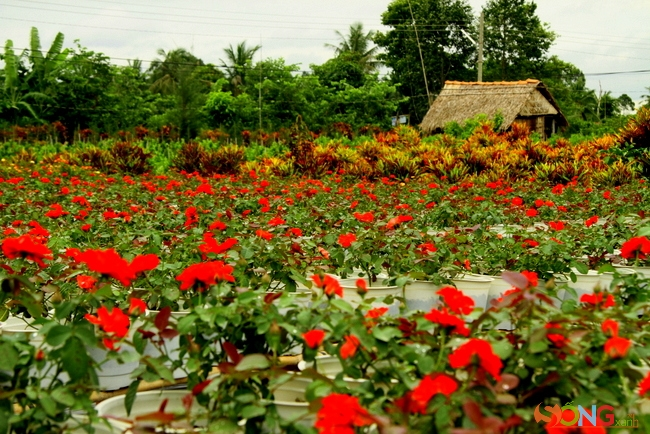 Một nếp nhà tranh bên vườn hoa hồng đang chờ khách mua.